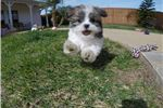 Picture of MalShi aka Teddy Bear designer puppy for sale !!