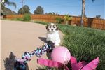 Picture of MalShi / Teddy Bear designer puppy for sale in CA!