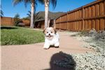Picture of Teddy Bear designer puppy for sale - MalShi