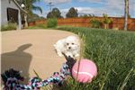 Picture of Female Maltese puppy for sale - ACA Registered