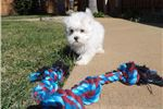 Picture of Adorable male AKC Maltese puppy for sale in SD!