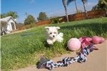 Picture of PERFECT female Maltese puppy for sale - ACA Reg.