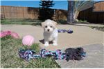 Picture of Adorable MaltiPoo puppy - Maltese x Toy Poodle