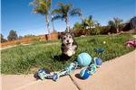Picture of Super cute male Morkie designer puppy for sale !!