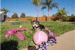 Picture of Female Morkie puppy for sale in San Diego, CA !