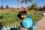 Picture of TINY Morkie puppy for sale - Maltese x Yorkie .