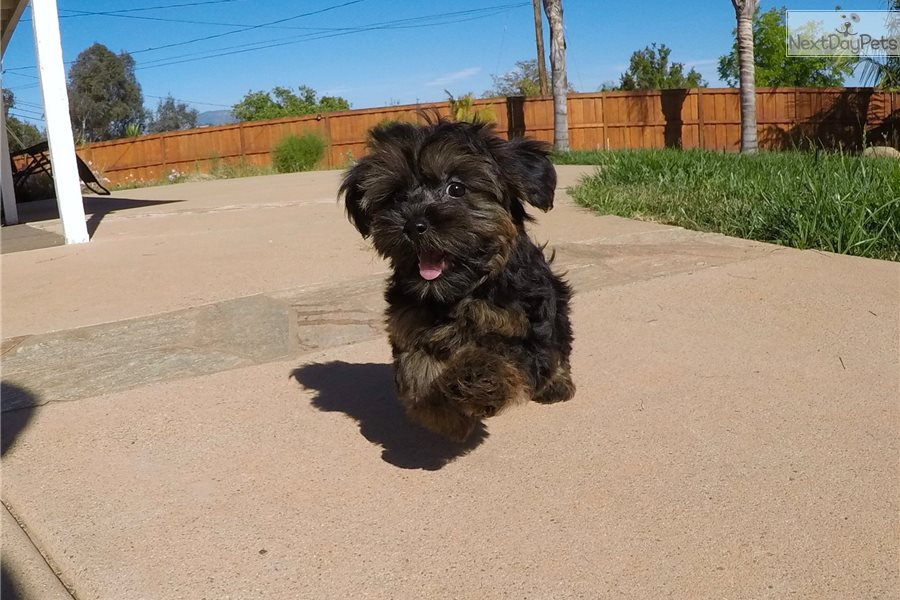 yorkie poo cost - 28 images - teacup yorkie poo male puppy for sale