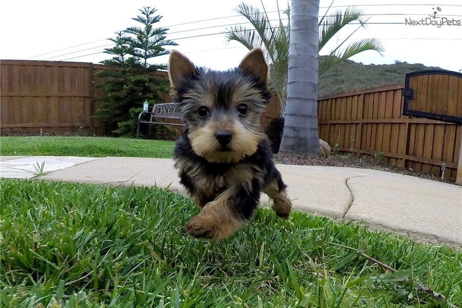 Sawyer: Yorkshire Terrier - Yorkie puppy for sale near San
