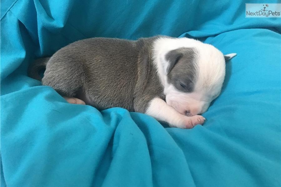 Hulk American Pit Bull Terrier Puppy For Sale Near Jackson