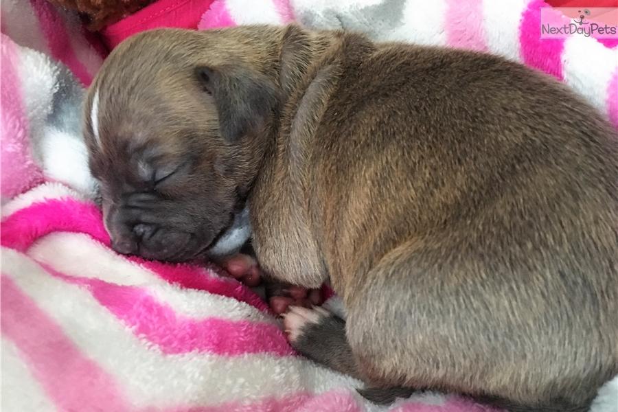 Kara American Pit Bull Terrier Puppy For Sale Near Jackson