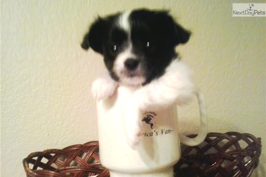 Teacup Girl Papillon Puppy For Sale Near Denver Colorado
