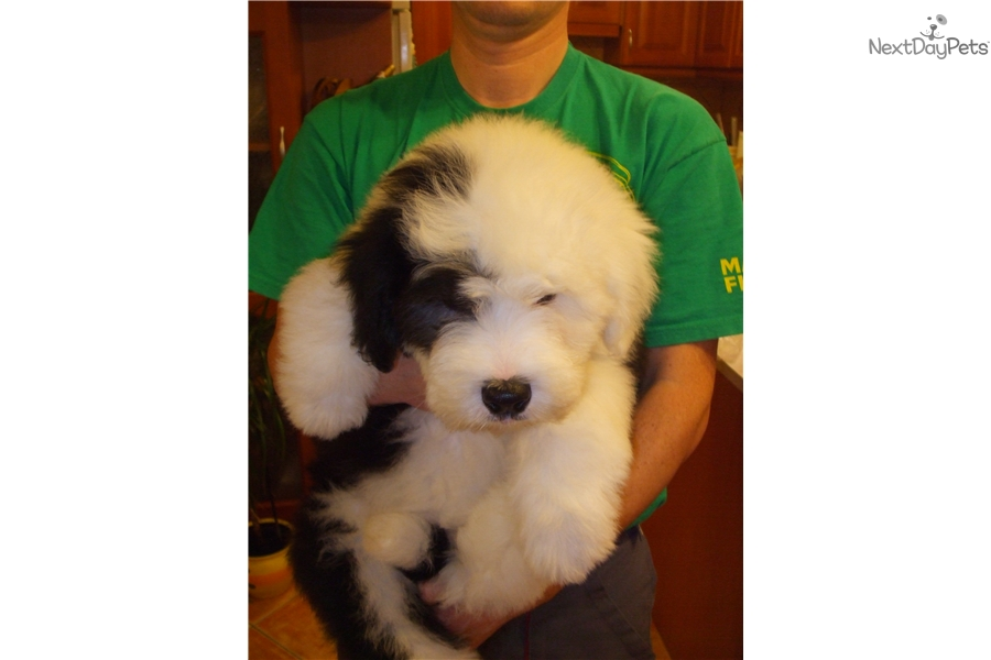 Male 1: Olde English Sheepdog puppy for sale near Budapest, Hungary