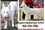 Picture of White Swiss Shepherd Puppies / Berger Blanc Suisse