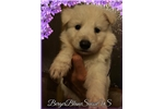 White Swiss Shepherd Puppies / Berger Blanc Suisse | Puppy at 4 weeks of age for sale