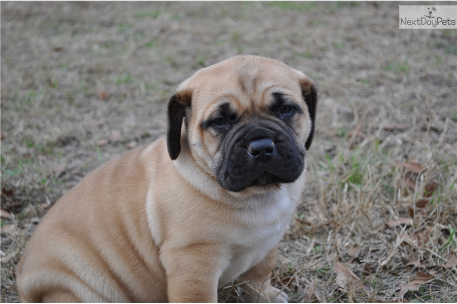 Male 1 South African Boerboel Puppy For Sale Near Tyler East Tx