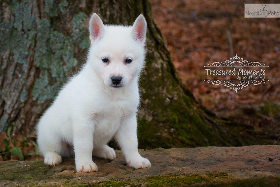 Bolt: Siberian Husky puppy for sale near Louisville