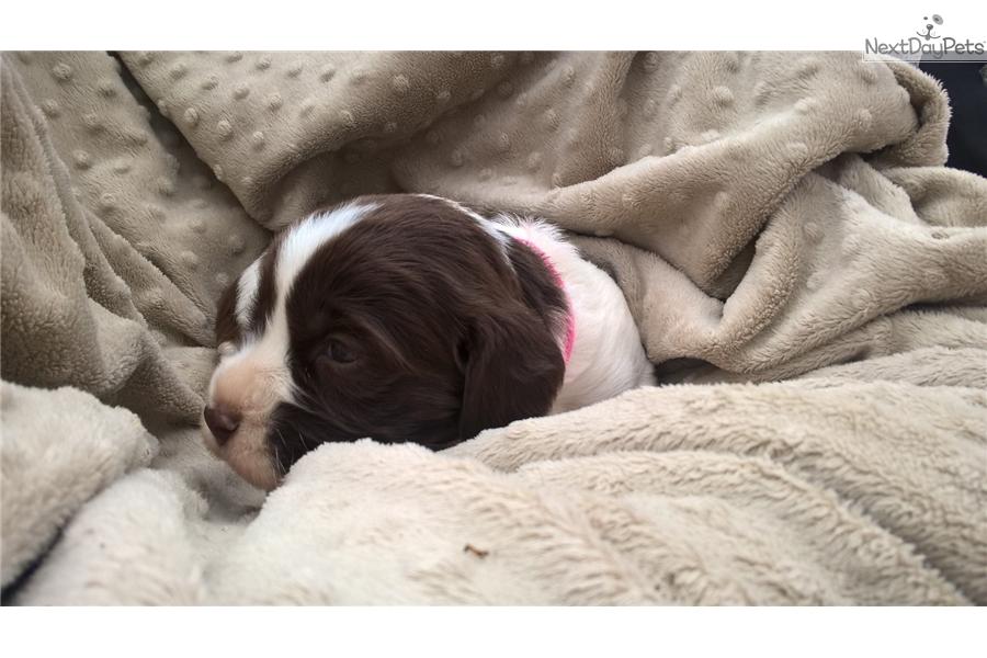 Sugar: English Springer Spaniel puppy for sale near Waco