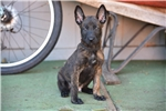 Picture of Brindle Black