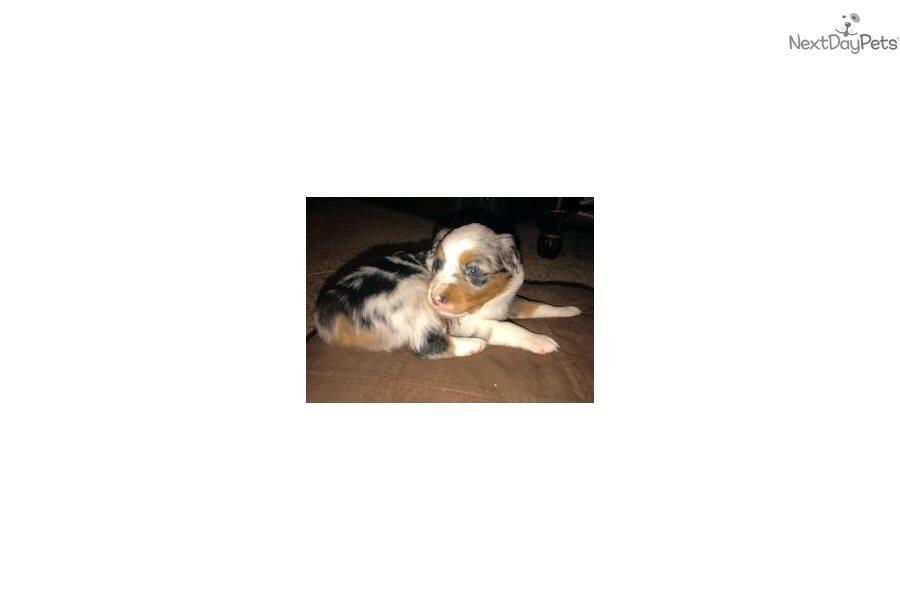 Trudy: Miniature Australian Shepherd puppy for sale near ...