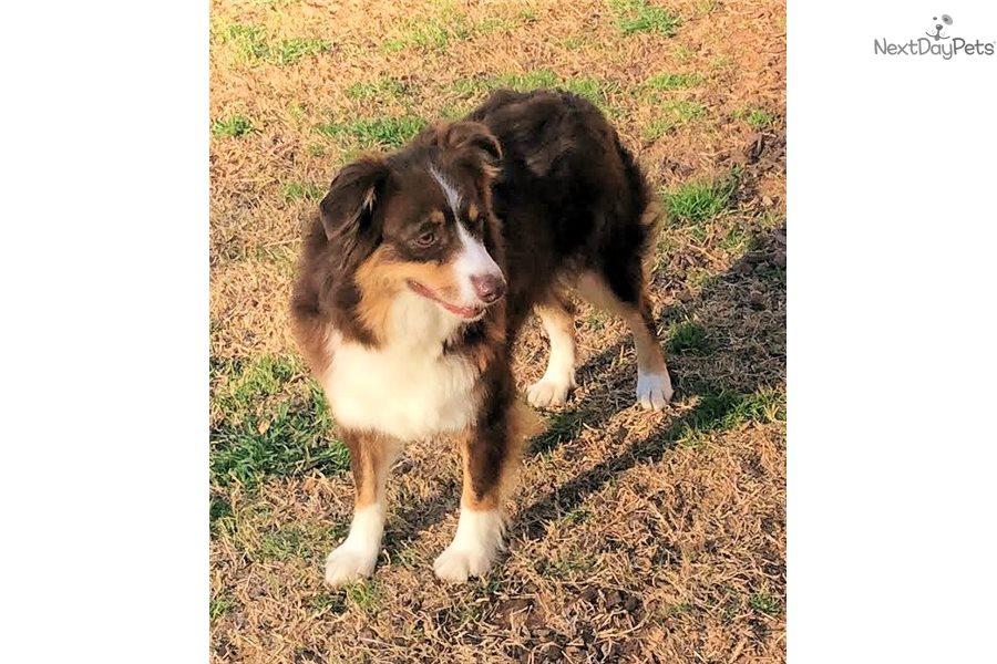 Zola: Miniature Australian Shepherd puppy for sale near ...