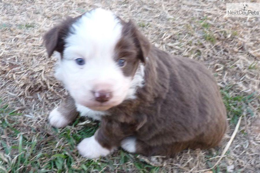 Miniature Australian Shepherd Puppy For Sale Near Oklahoma City Oklahoma 3e22cd49 3b11