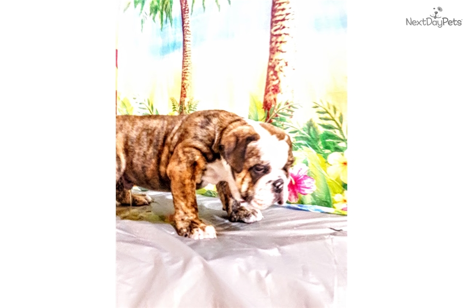 Brindle English Bulldog Puppy For Sale Near Worcester Central Ma