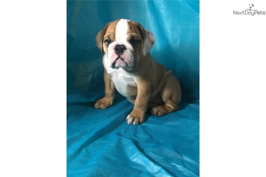 Suzy English Bulldog Puppy For Sale Near Worcester Central Ma