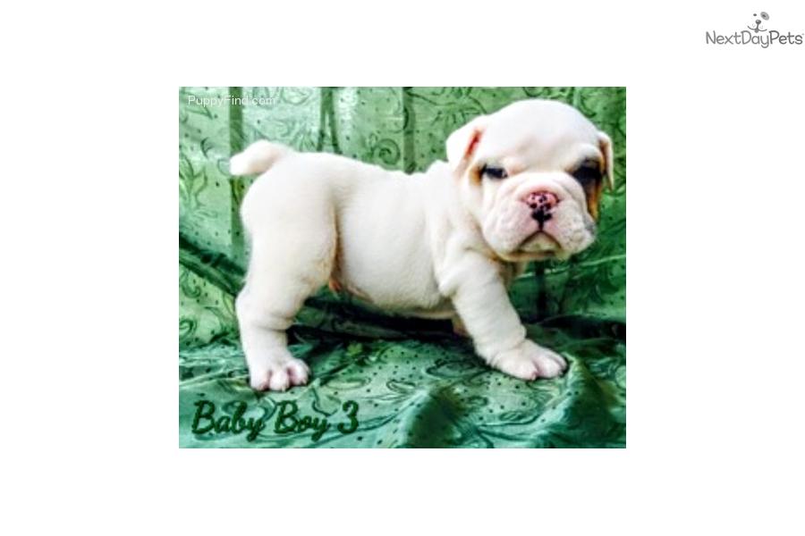 Babyboy 3 English Bulldog Puppy For Sale Near Worcester Central