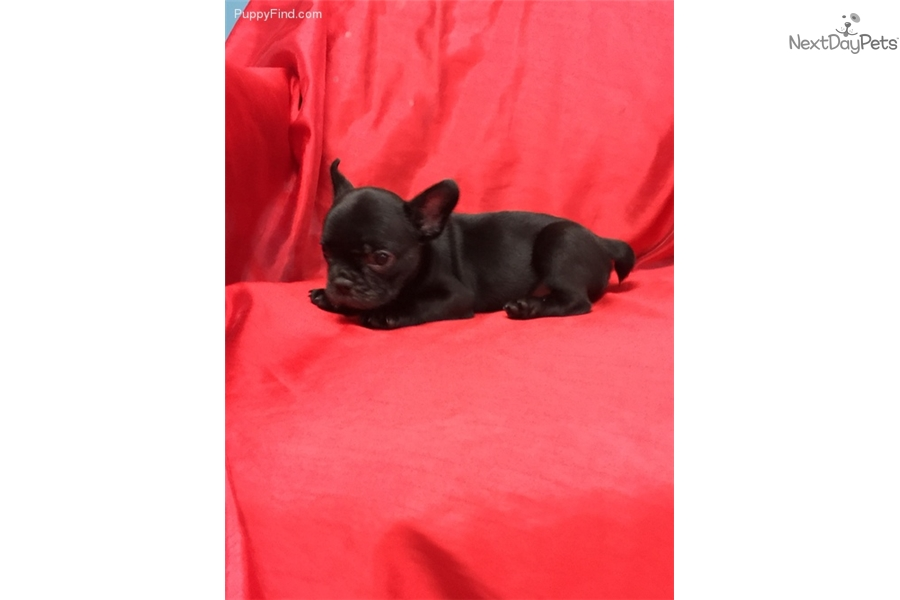 Gared French Bulldog Puppy For Sale Near Worcester Central Ma