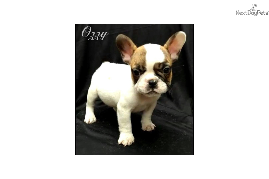 Ozzy French Bulldog Puppy For Sale Near Worcester Central Ma