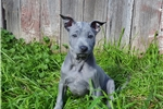 Picture of Topking Thai Ridgeback Puppy