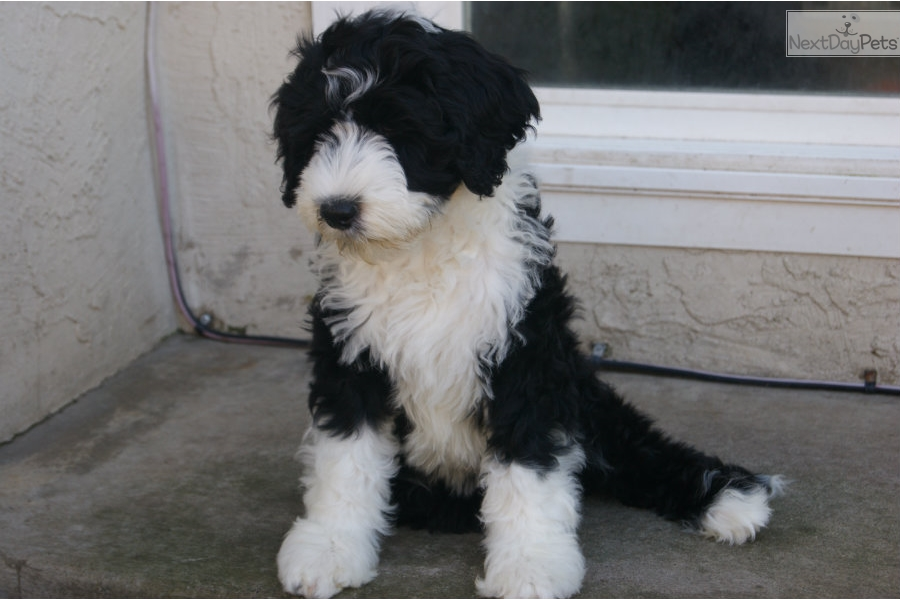 Portuguese Water Dog Puppy For Sale Near San Francisco Bay Area