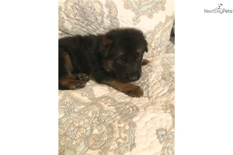 Red: German Shepherd puppy for sale near Tyler / East TX