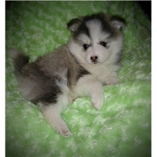 View full profile for Brookside Pomsky