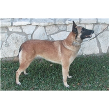 View full profile for Cave Creek Malinois
