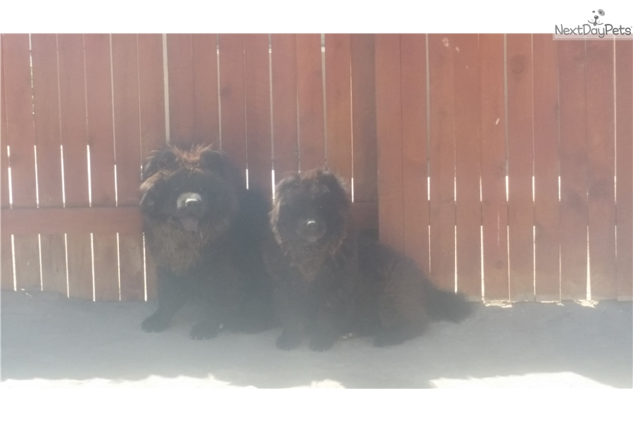 Chow Chow puppy for sale near Inland Empire, California