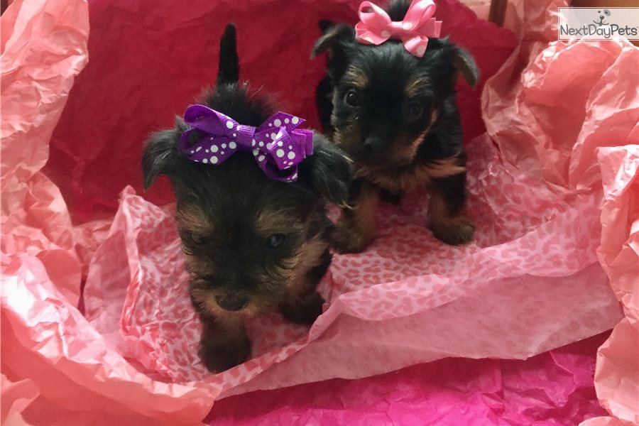 Girl Yorkie Yorkshire Terrier Yorkie Puppy For Sale Near Chicago