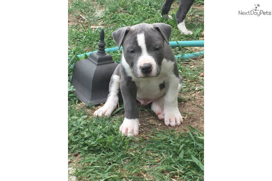 American Pit Bull Terrier puppy for sale near Colorado