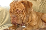Featured Breeder of Dogue De Bordeauxes with Puppies For Sale