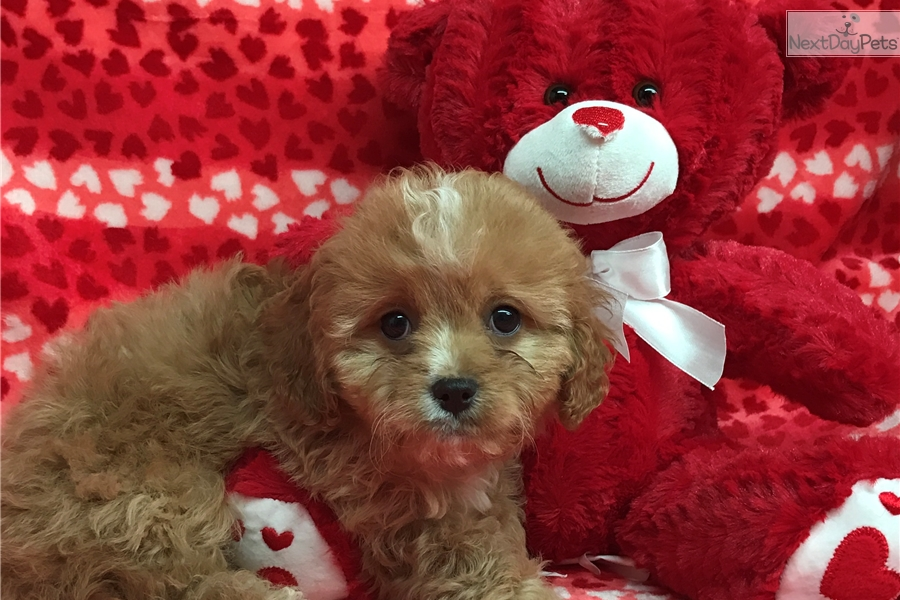 Cavapoo puppy for sale near Tri-cities, Tennessee | bd126dac