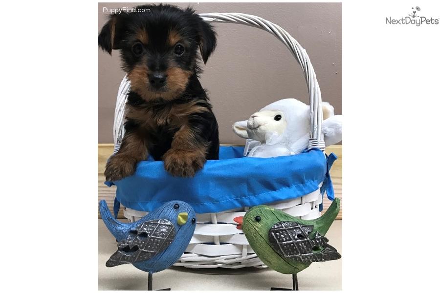 Yorkiepoo Yorkie Poo Puppy For Sale Near Tri Cities Tennessee