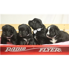 View full profile for White Tie Newfoundlands