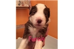 Picture of BeardedCollie Puppies Ready to go home 3/22/2017