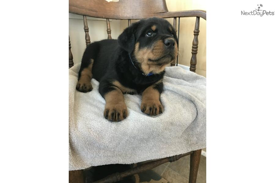 Speckled Blue Collar Rottweiler Puppy For Sale Near Harrisonburg