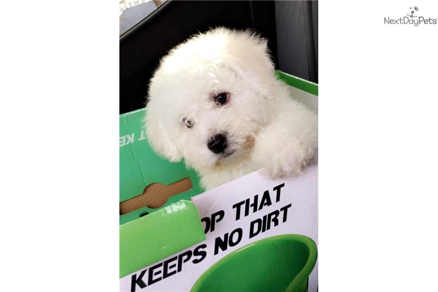 Bichon Frise Puppy For Sale Near Pueblo Colorado 38cd4b45 Ab71