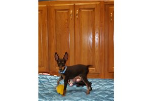 Toy Manchester Terriers for sale