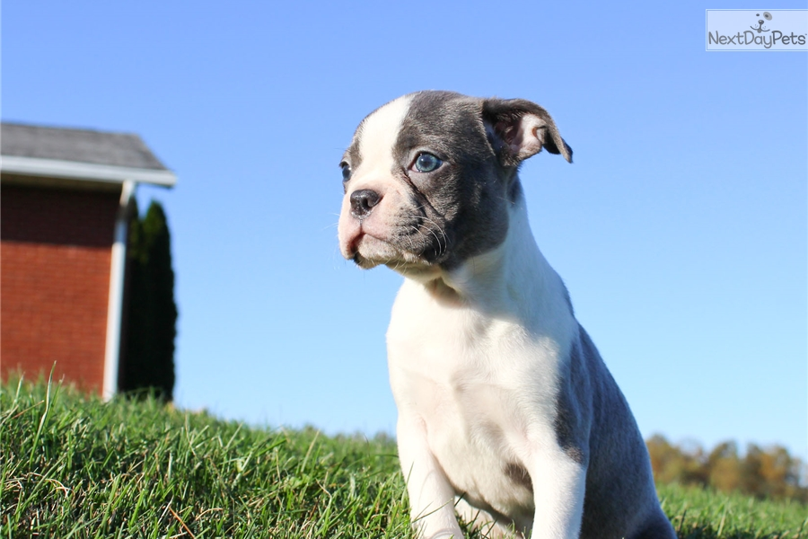 blue boston terrier for sale nala boston terrier puppy for sale near hudson valley 6658