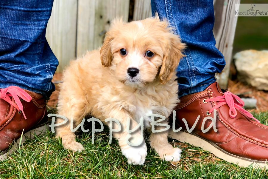 Sully Cavapoo Puppy For Sale Near Hudson Valley New York