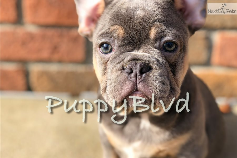 Chris Brown French Bulldog Puppy For Sale Near Hudson Valley New