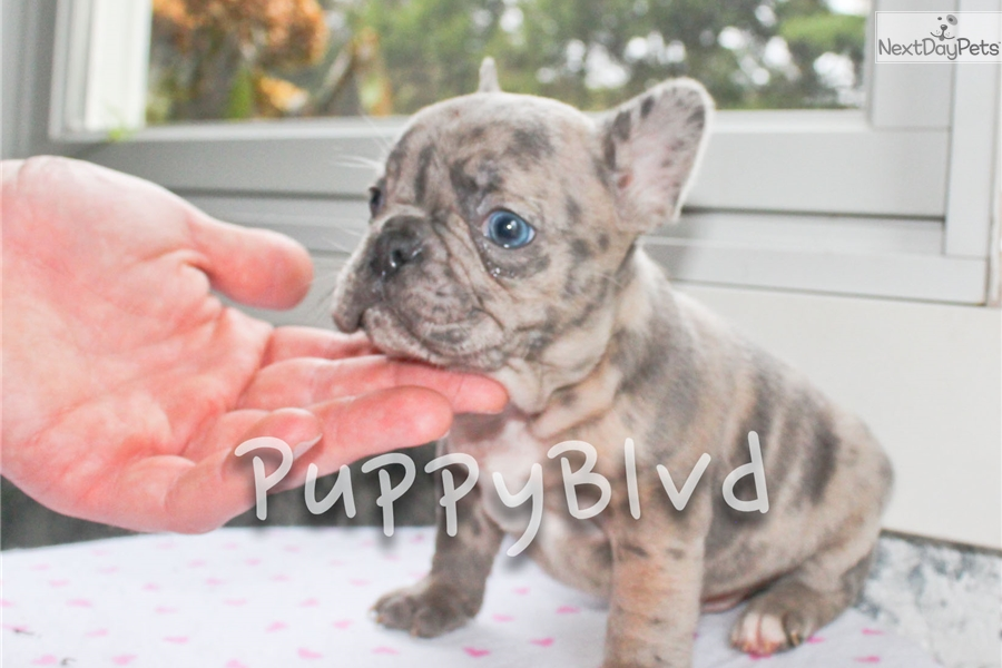 Tiger French Bulldog Puppy For Sale Near Hudson Valley New York